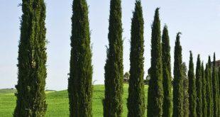 انواع اشجار السرو